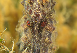 Hippocampus fuctus - geflecktes Seepferdchen - Spotted sea horse