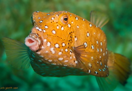 Gelbbrauner Kofferfish - Ostracion cubicus - Yellow boxfish