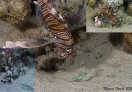Jagender Rotfeuerfisch - Pterois Miles - Hunting lionfish