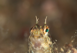 blenny-e-fb-001