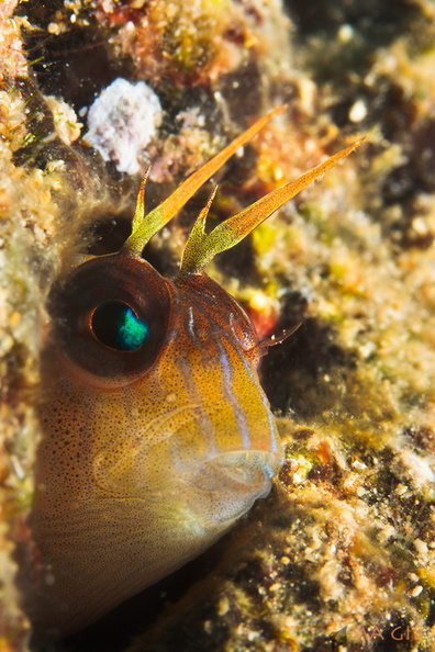 blenny-fb-004.jpg