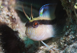 blenny-fb-005