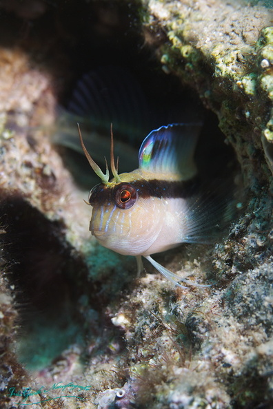 blenny-fb-005.jpg