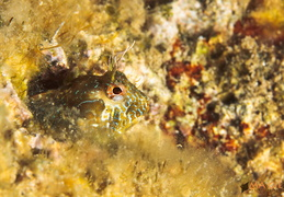blenny-fb-002