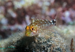 n blenny fb 001