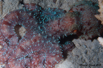 Roter Krake - Octopus cyaneus - Big blue octopus